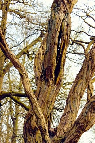 2-faux-acacia-parc-mariemont